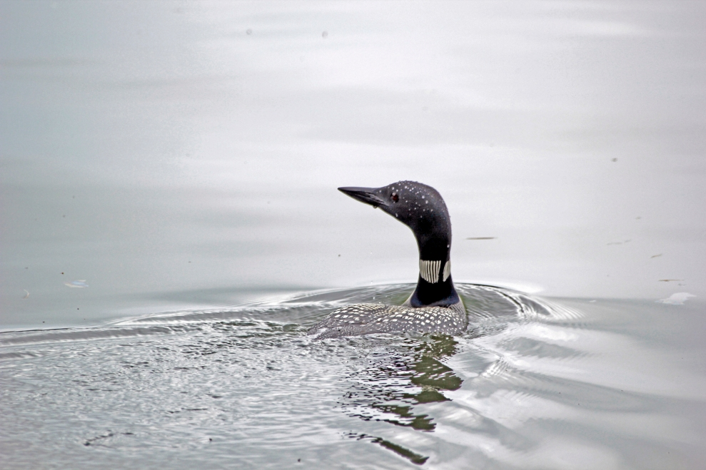 Loon in Maine