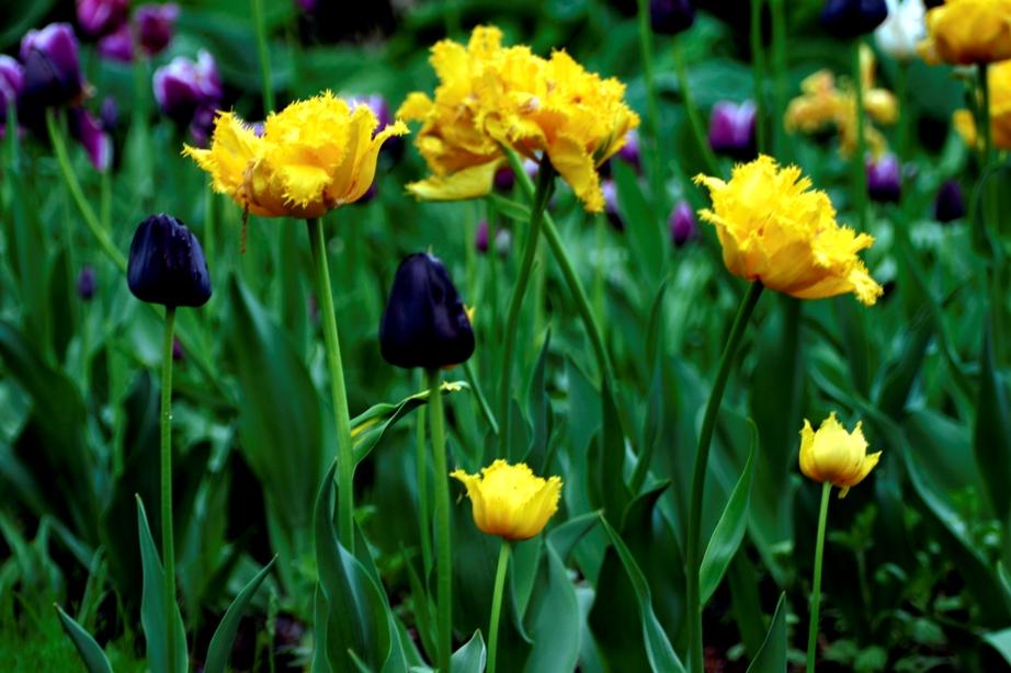 sullivan tulips 5-13-06 017 ed LR