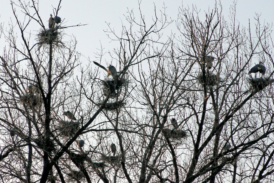 Herons on the Mississippi