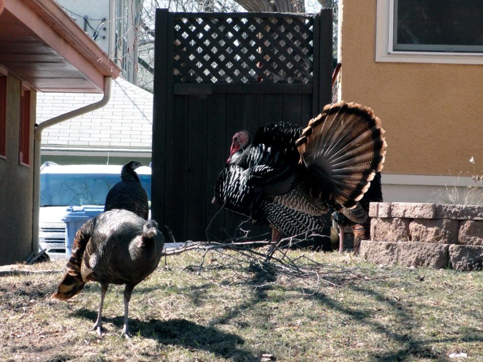 turkeys 4-1-13 004 ed LR