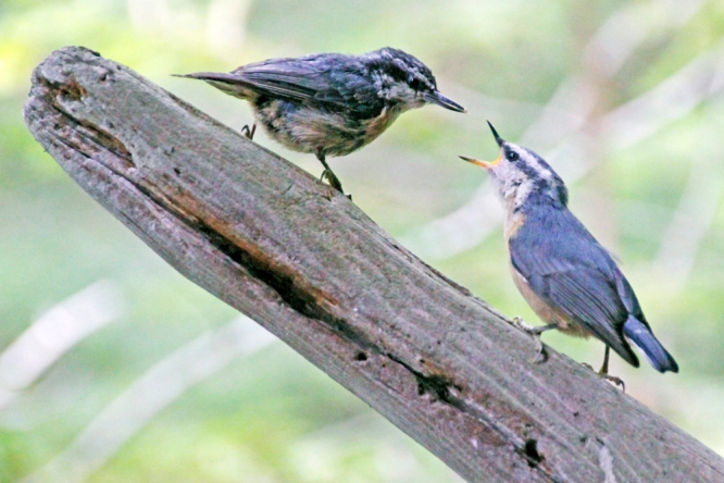 Nuthatch feeding young
